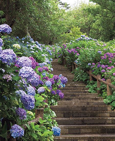 紫陽花が15万株、300万輪も咲き誇る下田公園