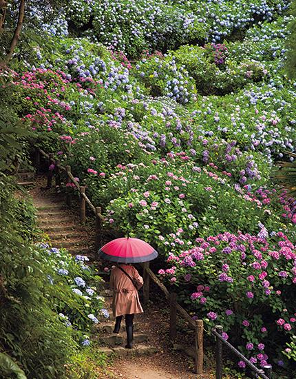 植えられている紫陽花の種類は100種以上