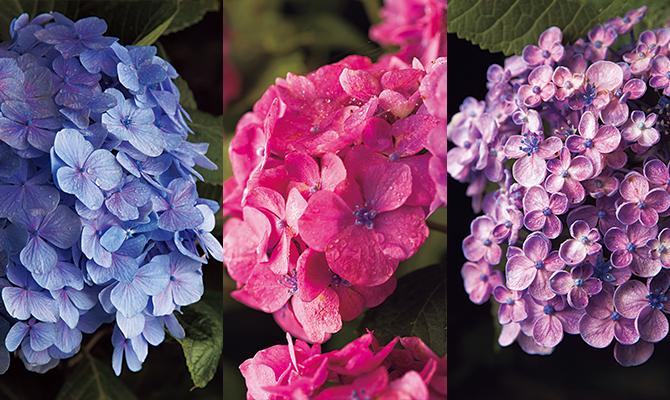 静岡県・下田公園の紫陽花