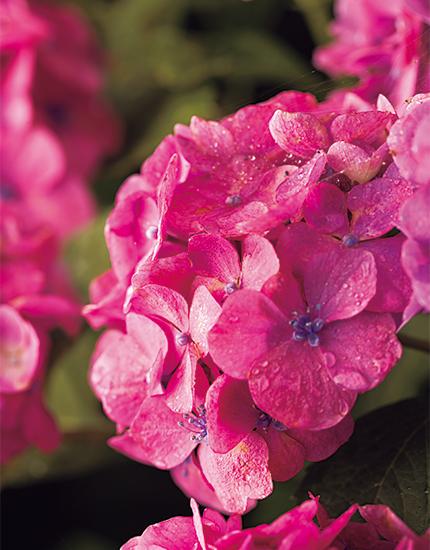 下田公園の紫陽花