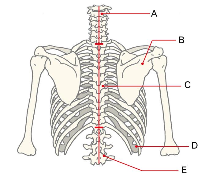 背中側から見た主な骨の位置