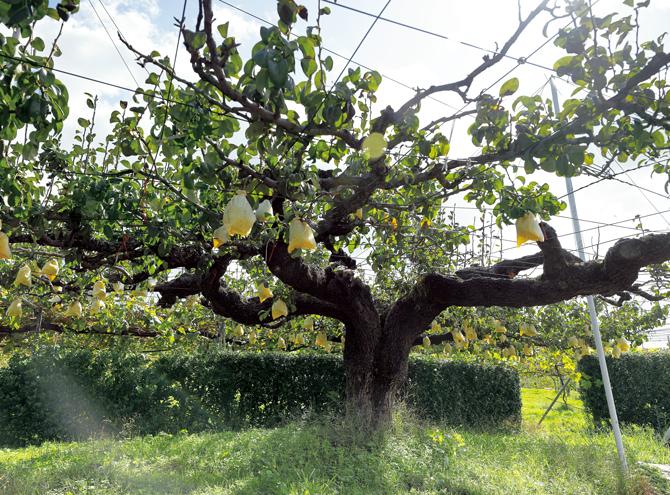 石碑の傍らでは、樹齢100年を超える古木が実をつけていた。