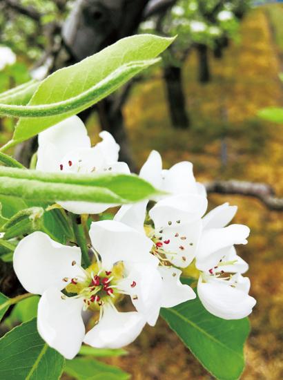 4月に咲くル レクチエの花