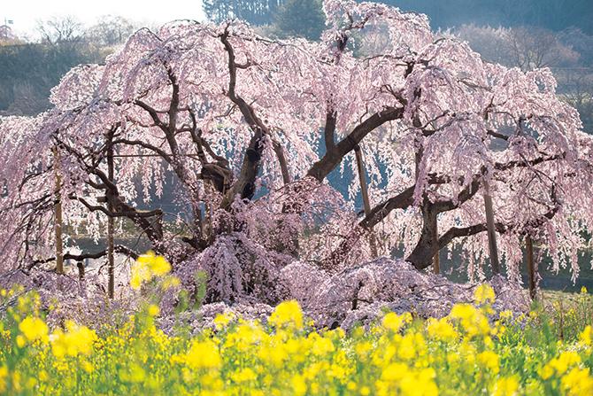 福島県三春町の三春滝桜と菜の花