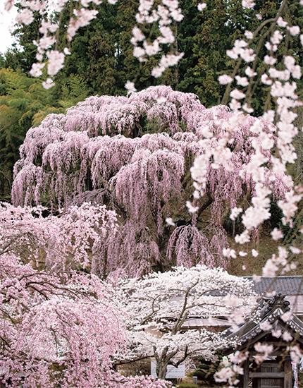福島県の福聚寺に植えられたベニシダレザクラ