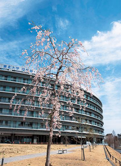 理学部キャンパスに植樹された三春滝桜の子孫樹
