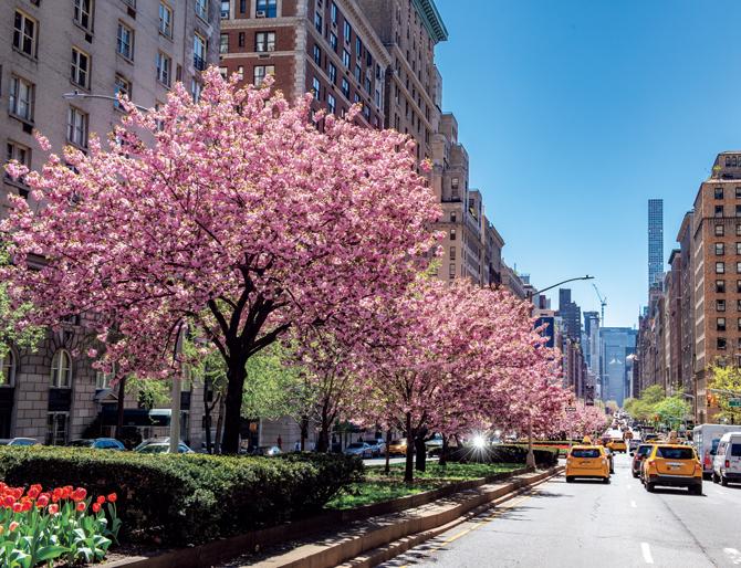 マンハッタン桜