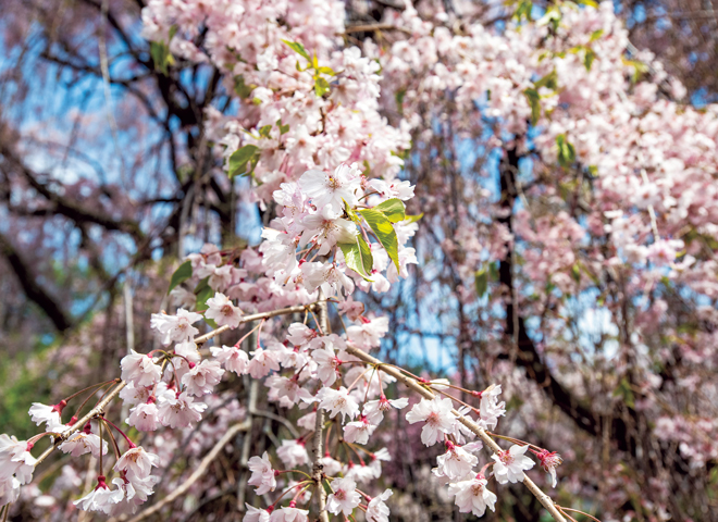 Prunus pendura