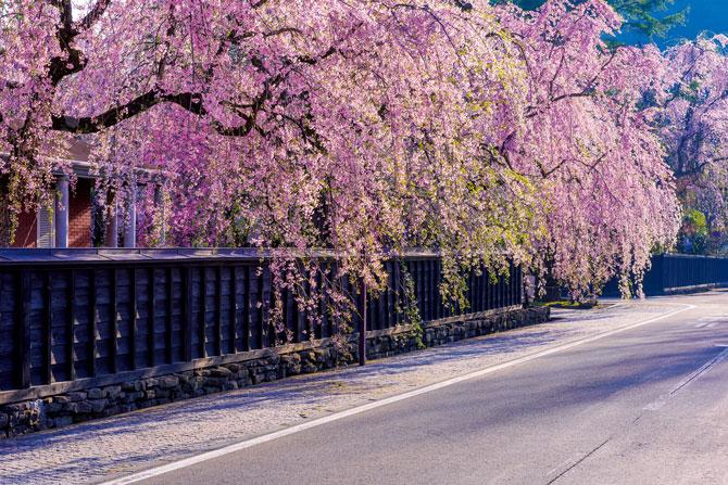 ふるさとの絶景【秋田県】武家屋敷の黒塀に映える枝垂れ桜