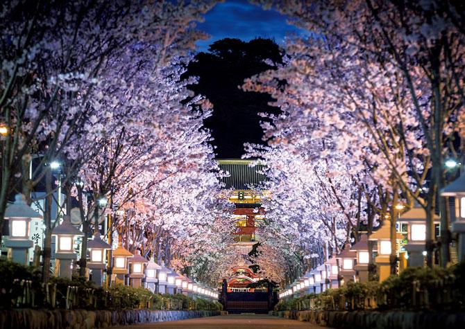 ふるさとの絶景【神奈川県】鶴岡八幡宮の段葛