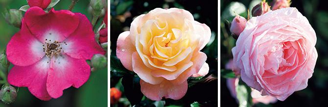 コロマ ローズガーデンのバラ