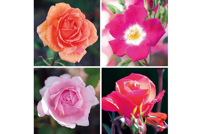 ロマ ローズガーデンのバラ