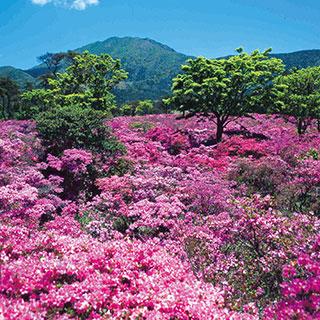 ふるさとの絶景【長崎県】雲仙に咲くミヤマキリシマ