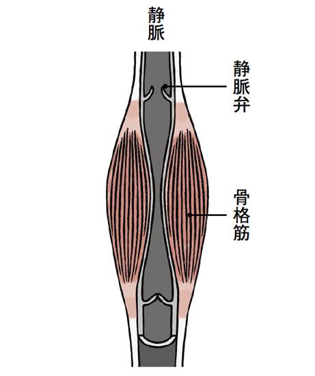 筋肉が動いてかかる圧力や内臓の動きも静脈血の流れを作る