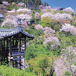 【遅咲きの桜を愛でる京都 4月12日発3日間】京の雅やかな桜景色に酔いしれる