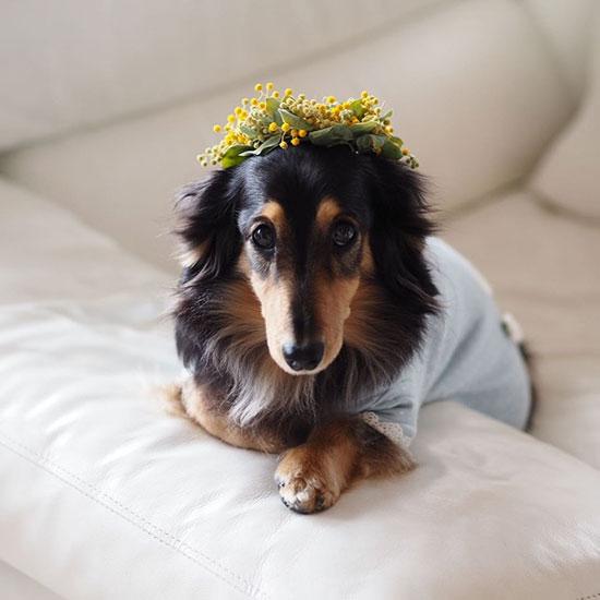 ミモザの花冠がお似合いです!