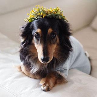 ミモザの花冠がお似合いです!〔#家庭画報ウチもふ365〕
