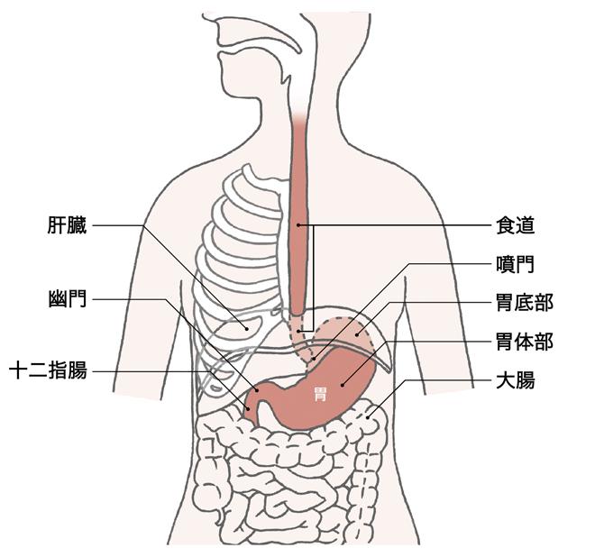 胃は食べ物をためる大きな袋