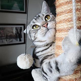 さぁ、一緒にキャットタワーで遊びましょう!〔#家庭画報ウチもふ365〕