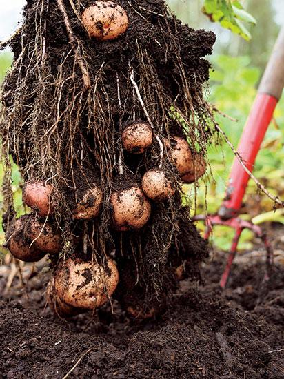 収穫の瞬間が最大の喜び! 根菜栽培に挑戦
