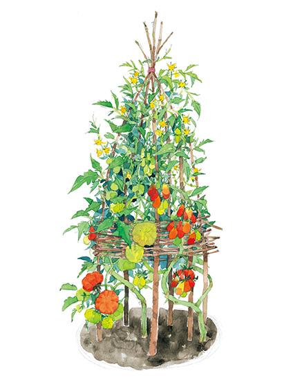 ウィグワムで目指すは「鈴なりトマトタワー」