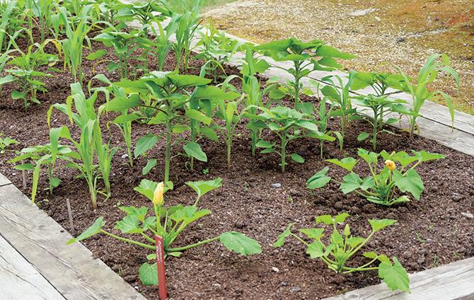 3種の植物が支え合うアメリカ大陸の伝統農法