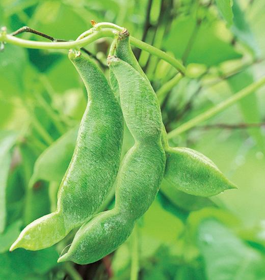 風景になる木の枝のウィグワムで豆の栽培を楽しむ