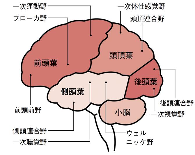 大脳の機能領野